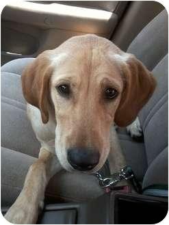 Labrador Retriever Dog for adoption in Cumming, Georgia - Flash