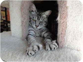 Domestic Shorthair Cat for adoption in Kingston, Washington - Silk