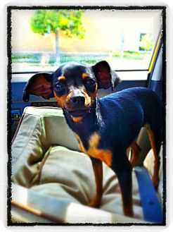 Miniature Pinscher Puppy for adoption in Huntington Beach, California - Jewel
