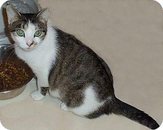 Domestic Shorthair Cat for adoption in Catasauqua, Pennsylvania - Brenda