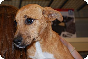 Beagle/Chihuahua Mix Puppy for adoption in Lexington, Kentucky - Jessie