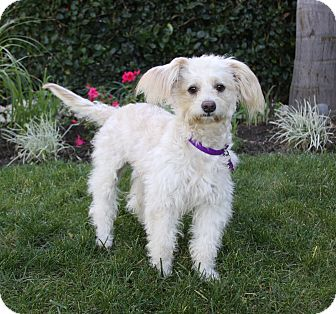 Poodle (Miniature)/Maltese Mix Dog for adoption in Newport Beach, California - TERRY