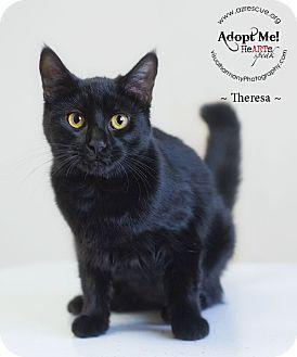 Domestic Shorthair Cat for adoption in Phoenix, Arizona - Theresa