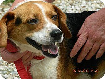 Beagle Dog for adoption in Buffalo, New York - Mack