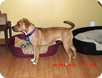 Staffordshire Bull Terrier/Rhodesian Ridgeback Mix Dog for adoption in Northumberland, Ontario - Bella