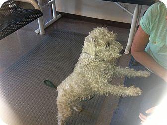 Wheaten Terrier Mix Dog for adoption in Gardnerville, Nevada - Gulliver