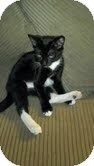 Domestic Shorthair Kitten for adoption in Modesto, California - Sketch