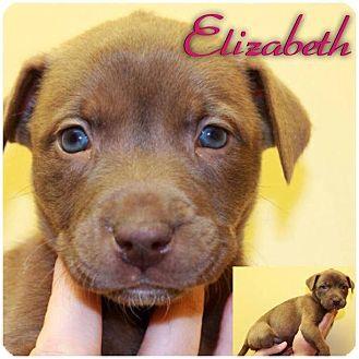 Rhodesian Ridgeback/Husky Mix Puppy for adoption in Garden City, Michigan - Elizabeth