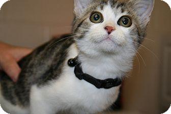 Domestic Shorthair Kitten for adoption in Foster, Rhode Island - Cola