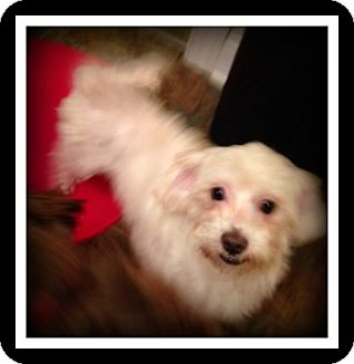 Maltese/Poodle (Miniature) Mix Dog for adoption in Indian Trail, North Carolina - Brody