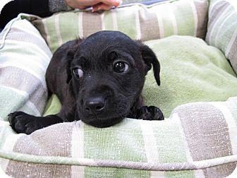 Labrador Retriever/Catahoula Leopard Dog Mix Dog for adoption in Houston, Texas - Axel
