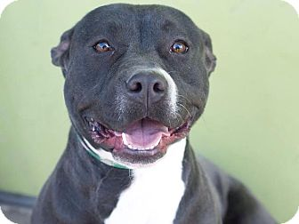 American Staffordshire Terrier Mix Dog for adoption in Los Angeles, California - Ebony