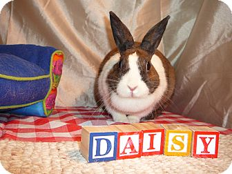 Dutch Mix for adoption in Newport, Delaware - Daisey