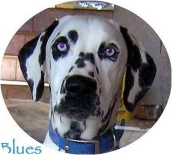 Dalmatian Puppy for adoption in Mandeville Canyon, California - Blues