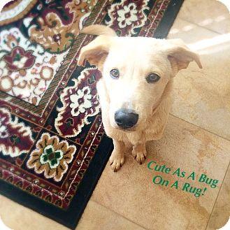 Golden Retriever/Labrador Retriever Mix Puppy for adoption in knoxville, Tennessee - CAESAR