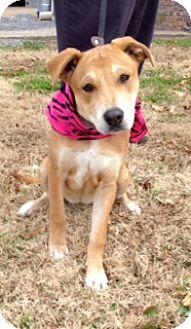 Labrador Retriever Mix Dog for adoption in Bedminster, New Jersey - CAROLINE