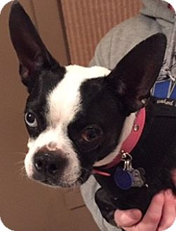 Boston Terrier Dog for adoption in Jackson, Tennessee - Dollie