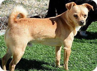 Chihuahua Mix Dog for adoption in Acton, California - Nacho
