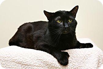 Domestic Shorthair Cat for adoption in Bellingham, Washington - Otto