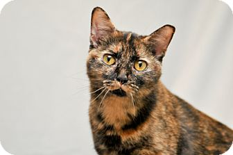 Domestic Shorthair Cat for adoption in Cary, North Carolina - Little Jay
