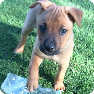 Shepherd (Unknown Type)/Labrador Retriever Mix Puppy for adoption in Scottsdale, Arizona - Clay