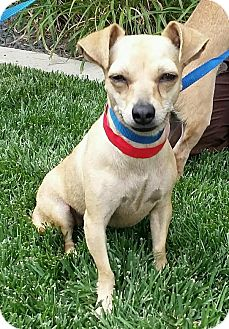 Chihuahua Mix Dog for adoption in Meridian, Idaho - Gilberto