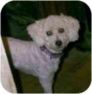 Miniature Poodle/Bichon Frise Mix Dog for adoption in dewey, Arizona - Char