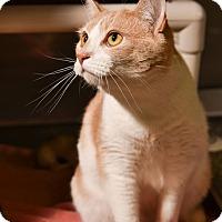 Adopt A Pet :: Ringo - Athens, GA
