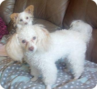 Poodle (Miniature)/Papillon Mix Dog for adoption in Prole, Iowa - Angel & Pistole