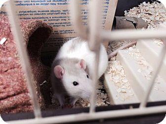 Rat for adoption in Philadelphia, Pennsylvania - CHARLOTTE