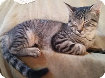Domestic Shorthair Kitten for adoption in Palatine, Illinois - Scout