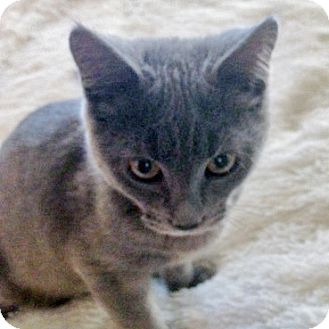 Domestic Shorthair Cat for adoption in Nashville, Tennessee - Leon