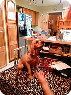Cocker Spaniel Mix Dog for adoption in San Antonio, Texas - Goldie