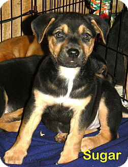 German Shepherd Dog/Collie Mix Puppy for adoption in New Oxford, Pennsylvania - Sugar