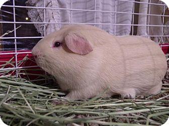 Guinea Pig for adoption in Wakefield, Massachusetts - Mike