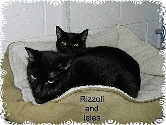 Domestic Shorthair Cat for adoption in Ozark, Alabama - Rizzoli