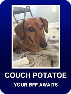 Dachshund Dog for adoption in Morrisville, Pennsylvania - Jeter