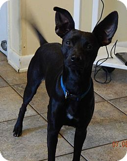Rat Terrier/Terrier (Unknown Type, Small) Mix Dog for adoption in West Sand Lake, New York - Buddy(15 lb) New Pics & Video
