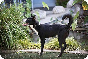 Border Collie Mix Dog for adoption in San Pedro, California - ALEX (Courtesy List)