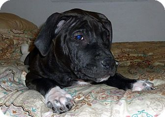 Terrier (Unknown Type, Medium)/Labrador Retriever Mix Puppy for adoption in Detroit, Michigan - Steven-Adopted!