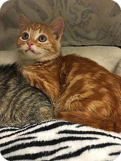 Domestic Shorthair Kitten for adoption in Yorba Linda, California - Rusty Anne