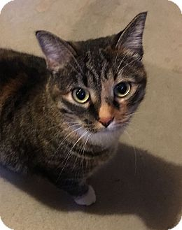 American Shorthair Cat for adoption in Greeley, Colorado - Sarabi