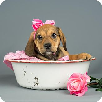 Labrador Retriever Mix Puppy for adoption in Columbia, Illinois - Aubrey