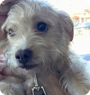 Maltese Mix Puppy for adoption in Las Vegas, Nevada - Mickey bonded pair Mikey