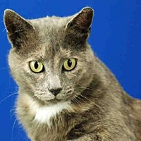 Domestic Mediumhair Cat for adoption in Fort Collins, Colorado - MADAME CLOVER