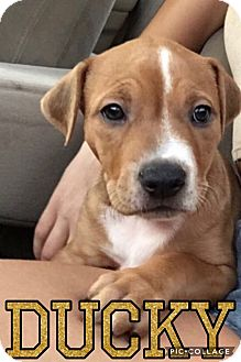 Great Dane/Shepherd (Unknown Type) Mix Puppy for adoption in Mesa, Arizona - DUCKY - 9 WK GREAT DANE SHEP