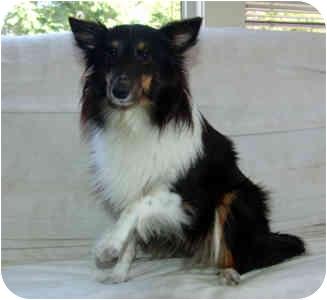 Sheltie, Shetland Sheepdog Dog for adoption in San Diego, California - Zoey