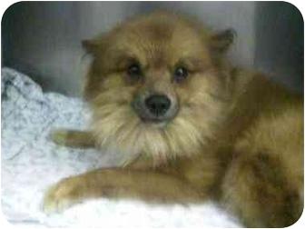Pomeranian Puppy for adoption in Oak Ridge, New Jersey - Wally
