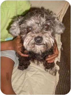 Poodle (Toy or Tea Cup)/Schnauzer (Miniature) Mix Dog for adoption in Foster, Rhode Island - Jo Jo update