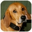 Photo 1 - Redbone Coonhound Mix Dog for adoption in Plainfield, Connecticut - Ben